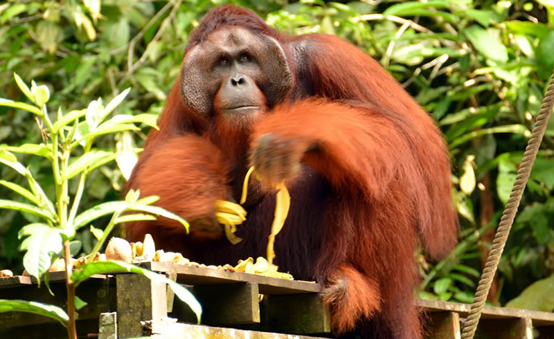 Orang Utan at Semonggoh Nature Reserve. Photo by STB